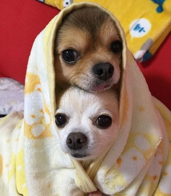 Pin By Danielle Volbeda On Dachshunds Chihuahua Puppies Cute Chihuahua Cute Puppies