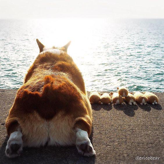 海を眺めているコーギー