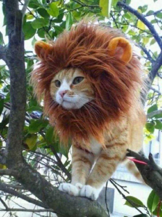 """#Leão - #Lion -  """" Gato fantasiado de Leão """""""