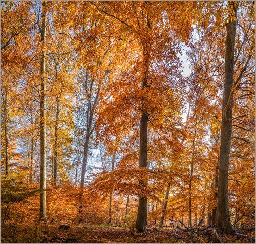 Christian Müringer - Prachtvoller Herbst Buchenwald im Taunus
