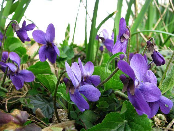 Viola odorata Foto Pinterest Wildkräuter, Essbare blüten und