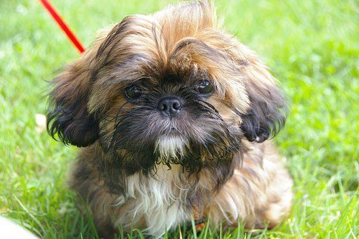Teacup Shih Tzu Puppies For Sale In South Carolina Sc In 2020 Shih Tzu Puppy Shih Tzu Dog Shih Tzu Grooming