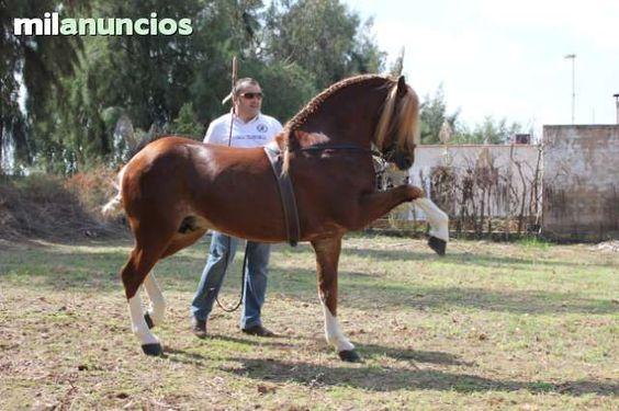 MIL ANUNCIOS.COM - Compra venta de caballos . Anuncios con fotos de caballos. Comprar un caballo. Todas las razas de caballos.