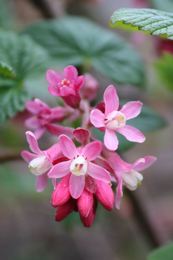 "boschintegral-photo: "" Ribes Sanguineum (Flowering Currant) "":"
