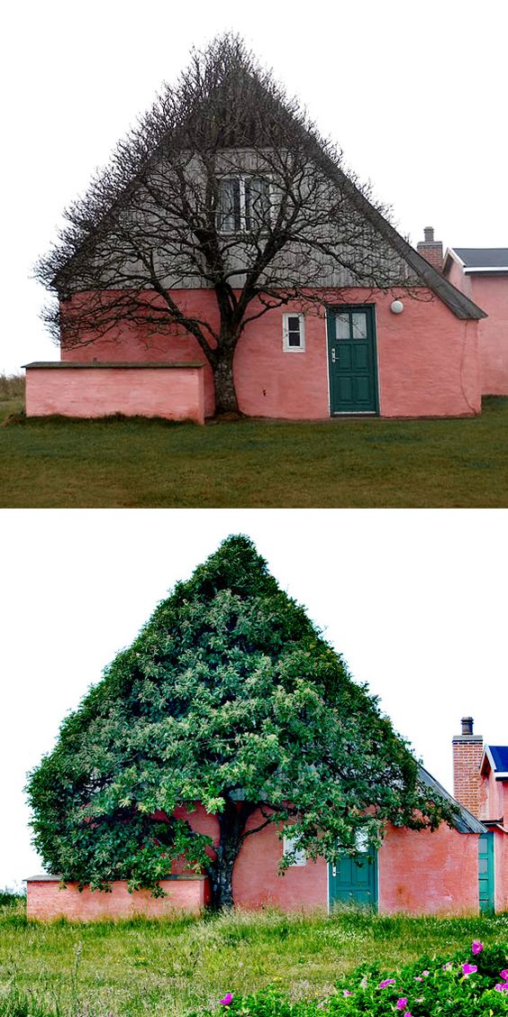 Photographer Marianne Kjølner snapped this pair of photographs of a bizarre tree in Denmark. Of the photo she says:    This old pink house is situated at the old dunes, a few hundred meters from the west coast, a very windy place were there isn't much that can grow. So the tree can only grow where it has shelter. It has looked this way always.