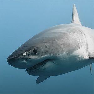 Great Whites Sharks use different hunting techniques for different types of prey.