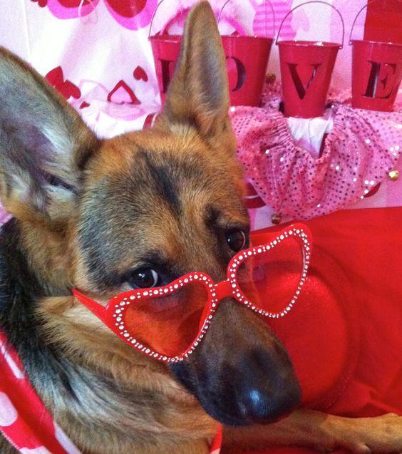 german shepherd love !!!!: