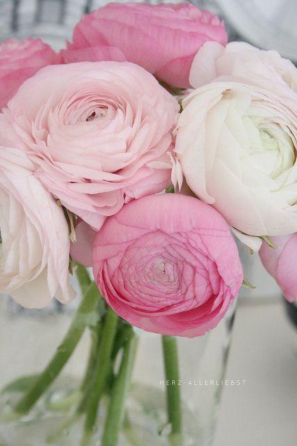 Rosa Ranunkeln by herz-allerliebst