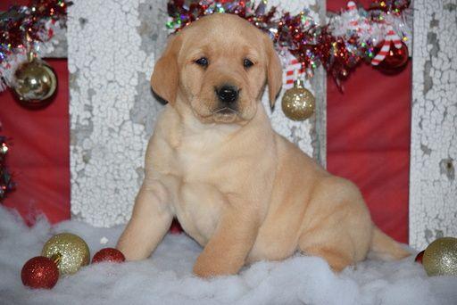 Golden Labrador Puppy For Sale In Fredericksburg Oh Adn 56286 On Puppyfinder Com Gender M Golden Labrador Puppies Labrador Puppies For Sale Puppies For Sale