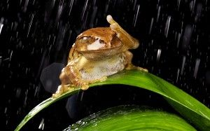 A frog tries to shelter from a rainstorm at Knowsley safari park in Liverpool
