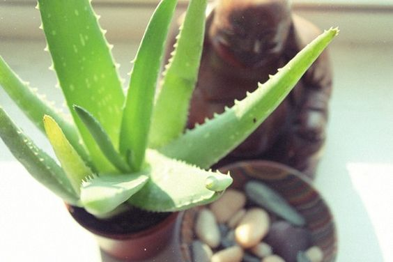 Aloe Plant Uses and Benefits for our big ol' plant.