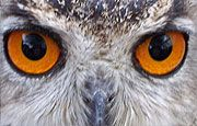 Owls' eye colour can give an indication as to its activity time. An owl with very dark eyes is normally active at night (nocturnal), an owl with yellow eyes is active during the day (diurnal), and an owl with orange eyes is active at dawn and dusk (crepuscular). There are some exceptions to this though.