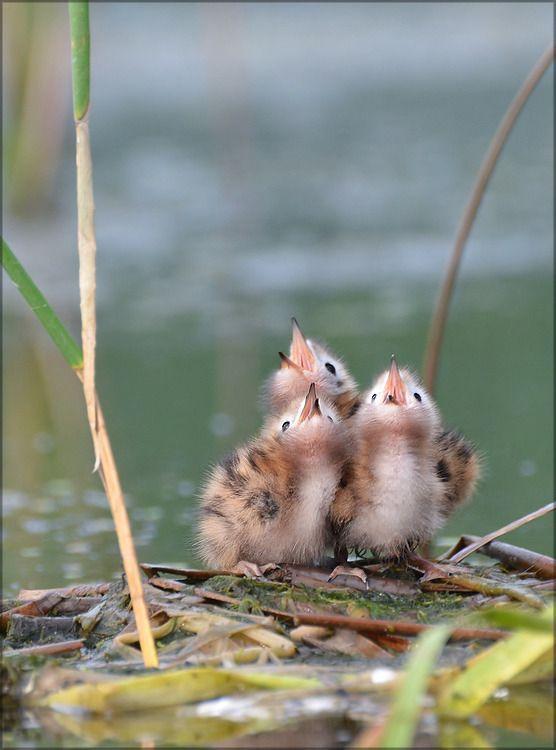 (via Baby birds♥ | Animals Bird Nest | Pinterest):