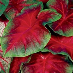 Buck Caladium Bulbs (Pack of 12)-70210 at The Home Depot