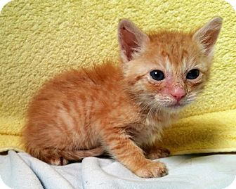 Pictures of Twinkie a Domestic Shorthair for adoption in Dallas, TX who needs a…