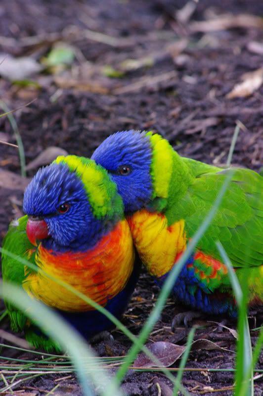 Rainbow Lorikeets - Australia