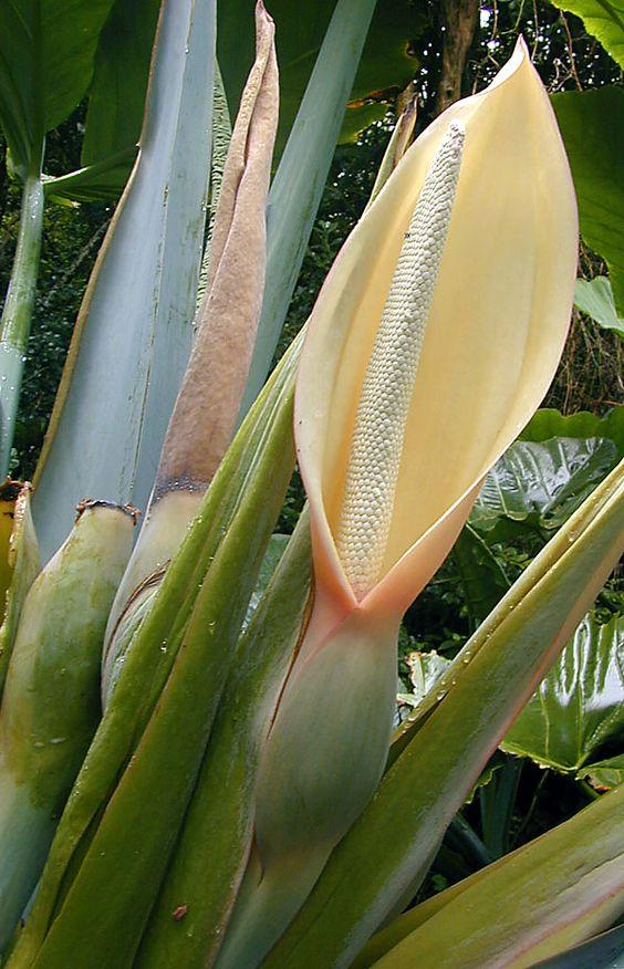 Copo de Leite - Imagens de Flores  http://www.imagensdeflores.com/copo-de-leite/