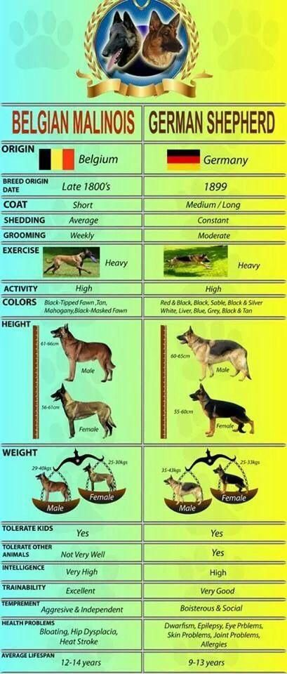 belgian malinois and german shepherd comparison essay