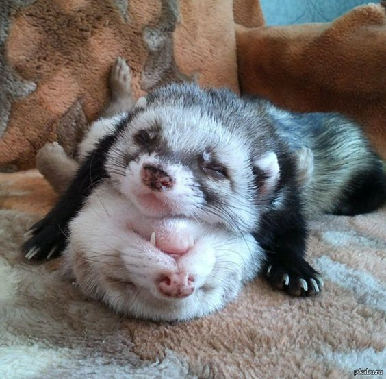HttpswwwinstagramcompBCgHWjNr Anna Plaksenko - Rescued kitten adopted by ferrets now thinks shes a ferret too