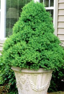 Dwarf alberta spruce zone 3 8 height 10 12 feet width 3 for Short evergreen trees