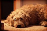Dog sulks due to lack of attention.