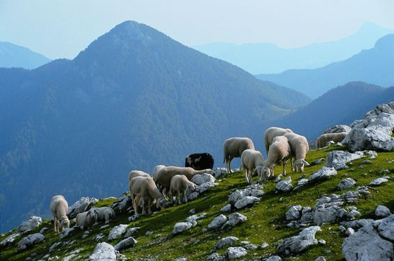 Jezersko - sheeps