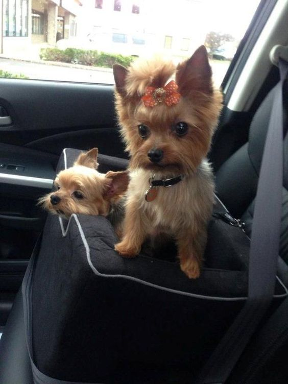 Lillie & Ry|Yorkies love to go bye-bye in the car! #yorkshireterrier