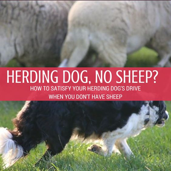 Herding dogs not only require serious physical activity every single day, but they need serious mental activity in order to be really happy. You might be doing a great job of providing plenty of exercise to your herding dog … but if you're not also providing MENTAL work … you're not meeting the needs of your herding dog.
