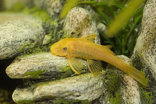 L144 Black Eyed Gold Bristlenose Pleco Ancistrus Algae Eater Pleco Fish Aquarium Catfish Fish Pet