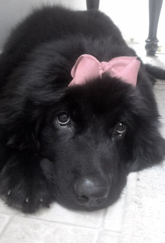 Violette, our Newfoundland puppy at 15 weeks old.