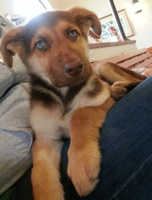 Koda, Liver and Tan German Shepherd Puppy. Photo and Puppy belongs to Yellie.  :-)
