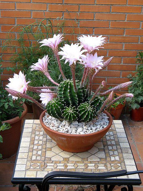 Kaktusi - Page 4 4ca2390281c938e7039f588267ab72e3