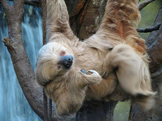 The Eager Pursuit of Sloths - Neatorama