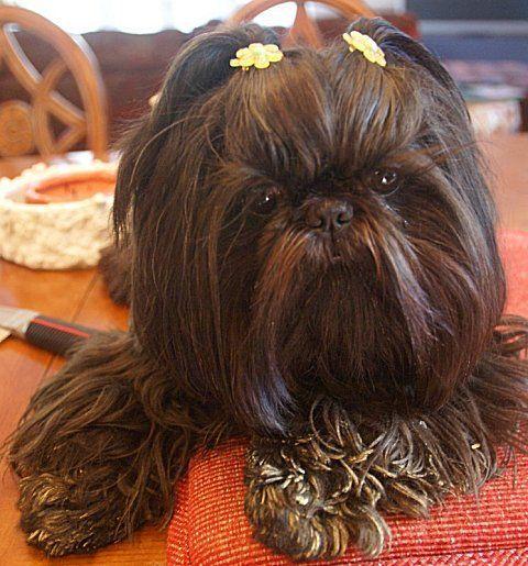 Cute Little Ewok Shih Tzu In 2020 Shih Tzu Puppy Shih Tzu For Sale Shih Tzu