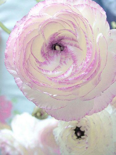 Ranunculus Picotee, a Peony-like flowerswith a lavender pink edge