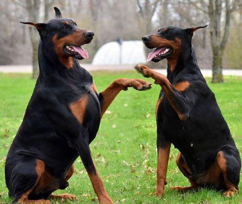 Doberman Puppies For Sale Doberman Puppies For Sale European