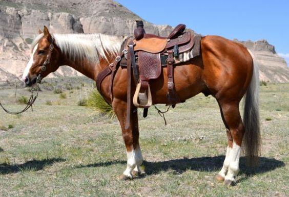 Palomino Quarter Horse Gelding Horses We ℒℴѵℯ