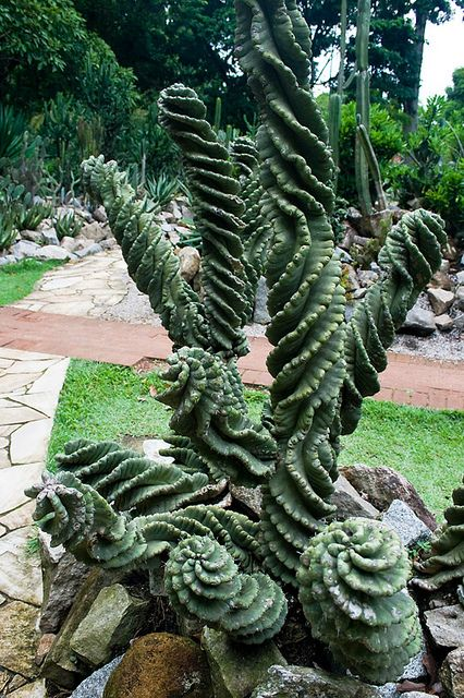 This photo of Cereus sp. spiralis is by Chantal Wagner [What a wonderfully odd plant! Unlike some it does not look like it is from an alien landscape; absolutely terrestrial but still odd. I like the shorter, uh, trunks? stems? but the combination of short with branched tall is really compelling — 13-07-13]: