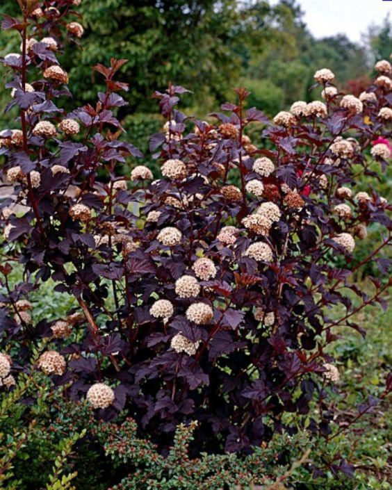 Physocarpus opulifolius ninebark diabolo white flowers for Low maintenance flowering bushes