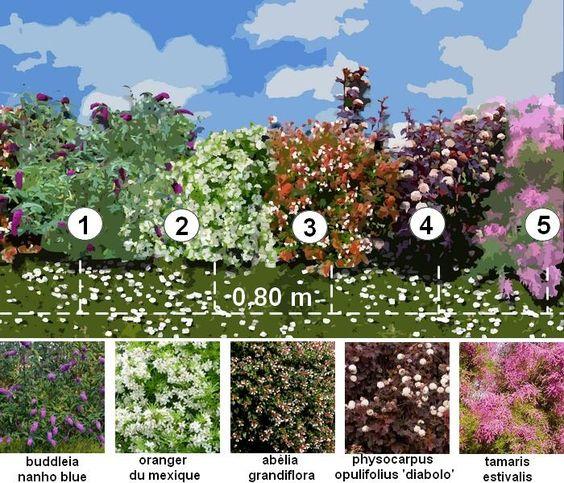 haie d corative une haie fleurie toute l ann e plans de jardin pinterest. Black Bedroom Furniture Sets. Home Design Ideas