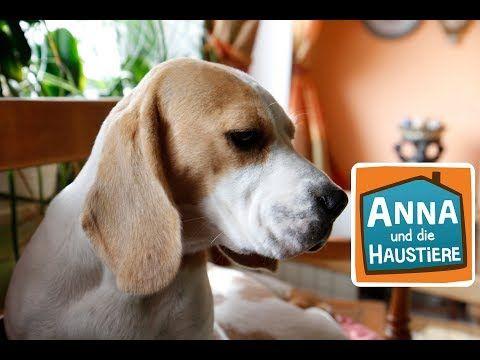 Beagle Information Fur Kinder Anna Und Die Haustiere Youtube In 2020 Haustiere Beagle Tiere