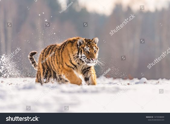 Siberian Tiger running in snow. Beautiful, dynamic and powerful photo of this majestic animal. Set in environment typical for this amazing animal. Birches and meadows image photo