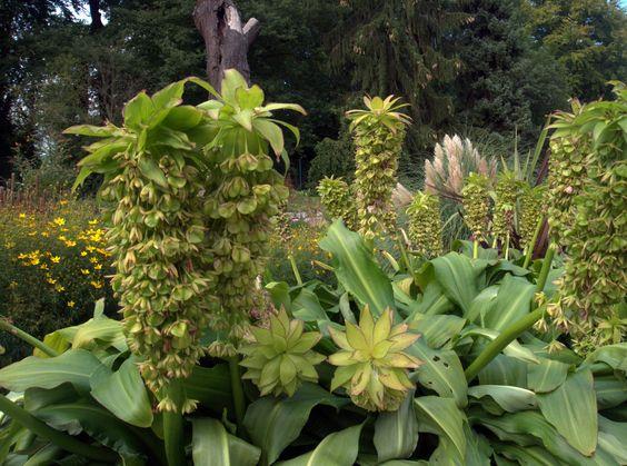 Schopflilien (Eucomis bicolor) sind schon recht plakativ-exotische Zeitgenossen. Ein Einsatz kommt nur im exclusiven, über jede Geschmacksverirrung erhabenen Ambiente in Frage...