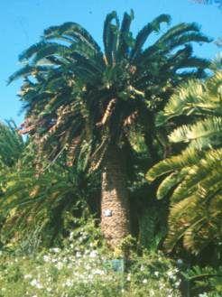 Encephalartos woodii at Kirstenbosch       extinct in the wild             Wood's Cycad         Wood-se-broodboom       6 m        SA no 14