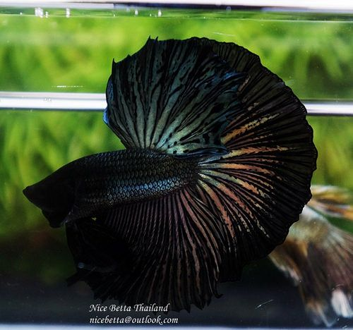 Black Gold Betta Halfmoon Betta Betta Fish