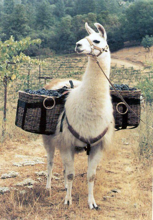 荷物を運ぶかわいいアルパカの壁紙