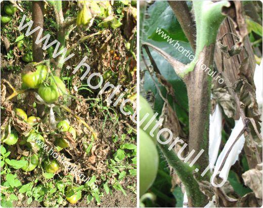 Mana tomatelor-rosiilor (Phytophthora infestans) este boala ce provoaca pierderi importante la plantele cultivare in gradina si camp. Lipsa tratamentelor preventive si curative cumulata cu conditi…