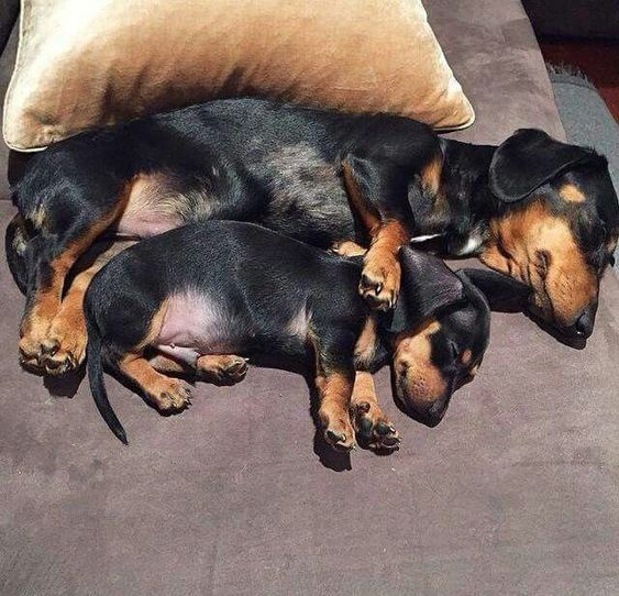 Pin By Victoria A Mora Messir On Doxie Funny Dachshund