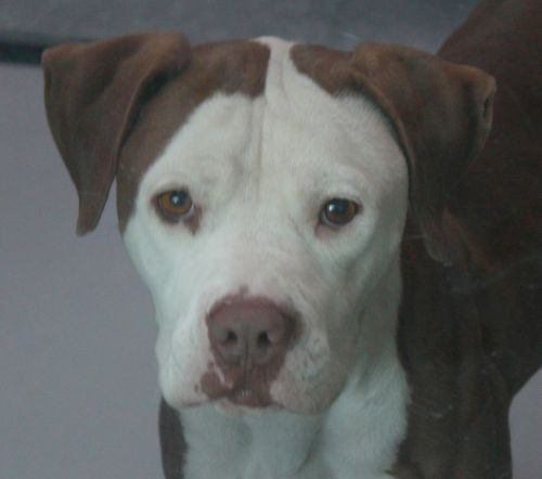 STRANGER-ID#A678785    My name is STRANGER.    I am a neutered male, white and brown Pit Bull Terrier.    The shelter staff think I am about 2 years and 1 month old.    I have been at the shelter since Oct 31, 2012.