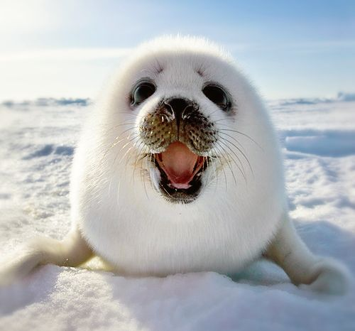 Baby Harp Seal...say NO to fur...you must have heard already that they clubber these innocent babies to death, a horribly painful death. Please use faux fur (fake fur).